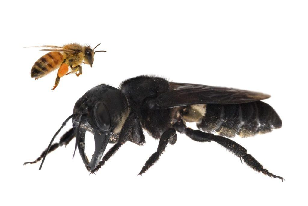 Una de las primeras imágenes de una abeja gigante de Wallace viva. Megachile pluto es la abeja más grande del mundo, cuatro veces más grande que una abeja europea. Imagen de Clay Bolt