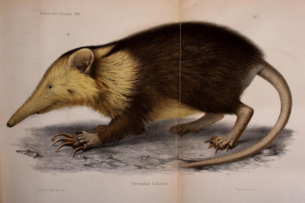 El almiquí de Cuba (Atopogale cubana) es una de las últimas especies sobrevivientes de un grupo de mamíferos antiguos que vivieron junto a los dinosaurios hace unos 76 millones de años. El almiquí de Cuba representa 22 millones de años de evolución única en el árbol de la vida de los mamíferos. Imagen cortesía de Wikimedia commons