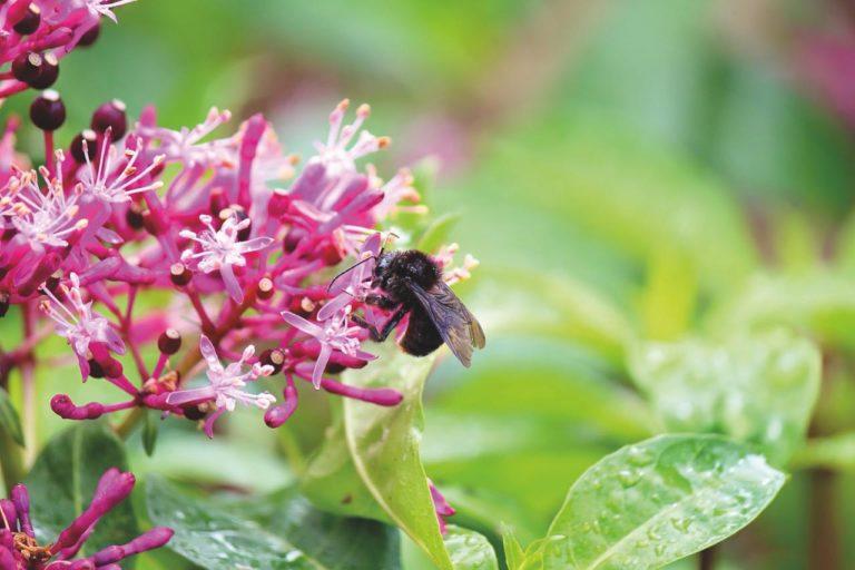 En Colombia existen entre 1000 y 1500 especies de abejas silvestres. Foto: Cortesía CAR.