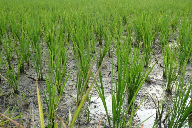 Los cultivos de arroz funcionan como humedales dada la pérdida de estos ecosistemas naturales en departamentos colombianos como el Valle del Cauca. Foto: Asociación Calidris.