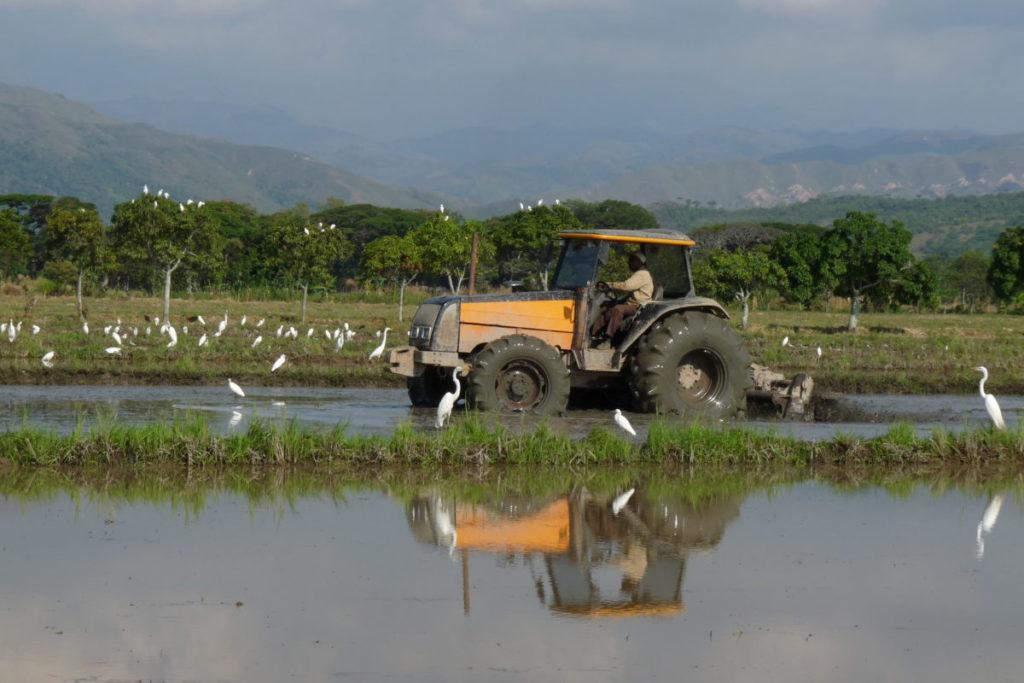 Cultivos de arroz orgánico en Jamundí, Valle del Cauca, funcionan como humedales para las aves. Foto: Asociación Calidris.