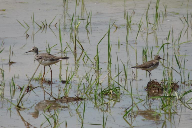 Algunas aves playeras llegan porque el suelo está desintoxicado y tiene más nutrientes para su alimentación. Foto: Asociación Calidris.