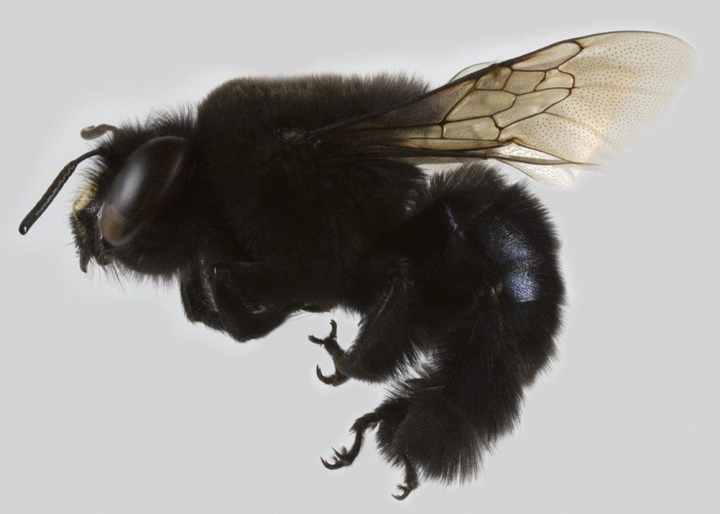 La abeja Centris nigerrima es nativa de Chile y también se encuentra en Argentina, Perú y Bolivia. Foto: Patricia Henríquez
