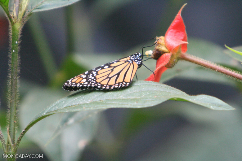 Las mariposas monarca se reúnen en un riachuelo en El Rosario. Los lugareños están preocupados porque la minería podría agotar los recursos hídricos de los que dependen estos insectos. Foto de archivo. Foto: Rhett A. Butler / Mongabay