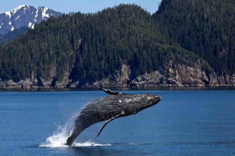 Las ballenas sufren directamente por el intenso tráfico marino. Foto: pexels