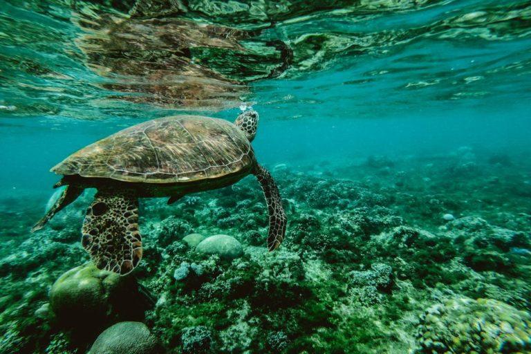 La mayoría de las especies de tortugas marinas está En Peligro. Foto:pexels