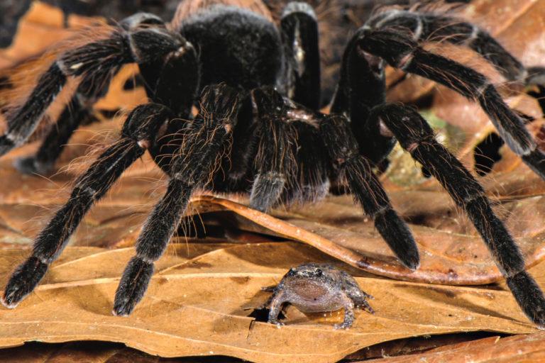 La araña Pamphobeteus sp. (Theraphosidae) y una rana Chiasmocleis royi. Foto: Emanuele Biggi.