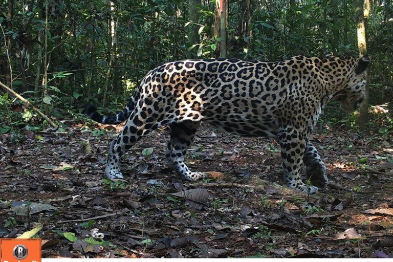 Más de 64 000 imágenes fueron captadas por las cámaras trampa. Foto: WWF Perú.