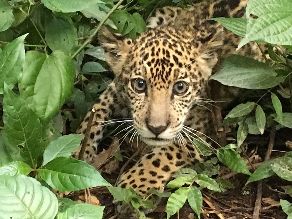 Mi Jungla es un jaguar bebé que llegó a fines del 2018. Foto: Senda Verde