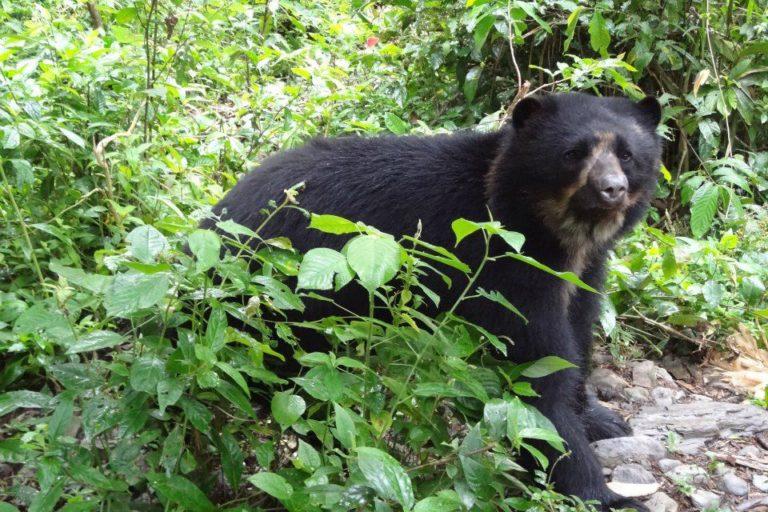 Aruma, Tipnis y Ajayu son los tres osos de anteojos que han llegado a Senda Verde. Foto: Senda Verde