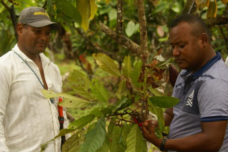 El cacao ayuda a los suelos porque generan mucha hojarasca. Foto: Fedecacao.
