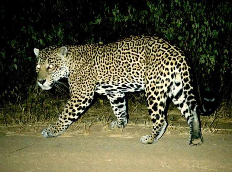 Yaguareté o jaguar en el Gran Chaco. Foto: Alfredo Romero.