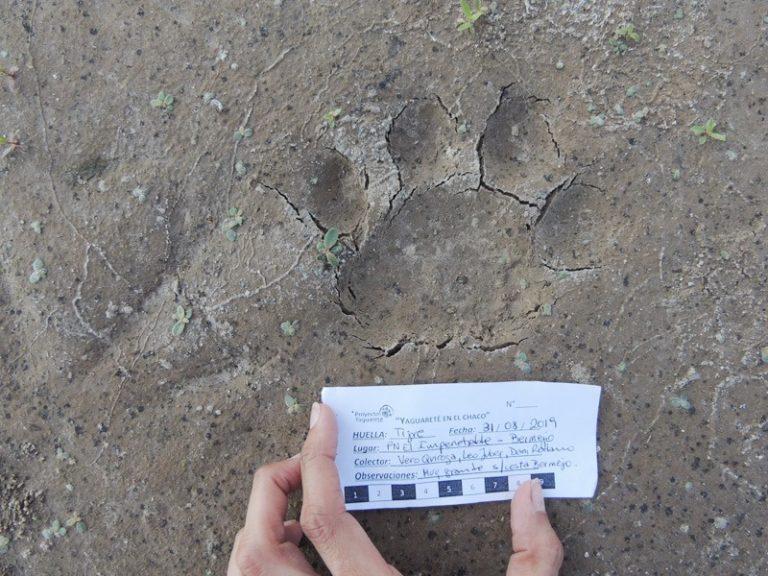 Imagen de huella de yaguareté o jaguar tomada el 31 de agosto. Foto: Verónica Quiroga.