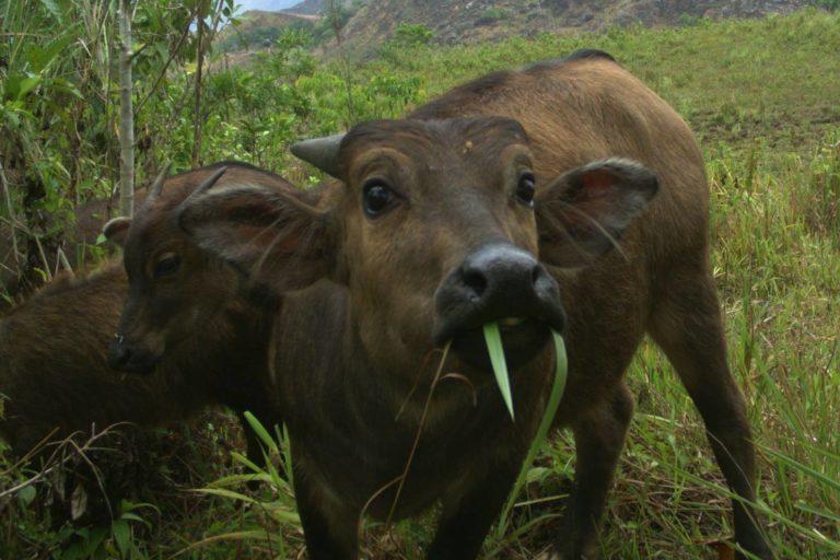 Tamarao captado por una cámara trampa instalada en el núcleo de su hábitat en en Parque Nacional Iglit-Baco. Foto de WWF-Filipinas y el Programa de Conservación del Tamarao.