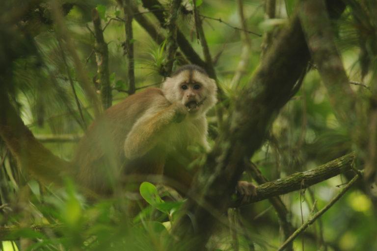 El mono machín de Tumbes habita en el Parque Nacional Cerros de Amotape. Foto: Yunkawasi.