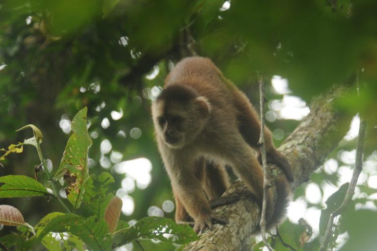Mono machín de Tumbes. Foto: Yunkawasi.