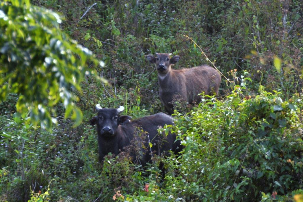 Tamarao salvaje hembra y su becerro en el Parque Nacional de los Montes Iglit-Baco. Foto por Emmanuel Schutz / D'Aboville Foundation.