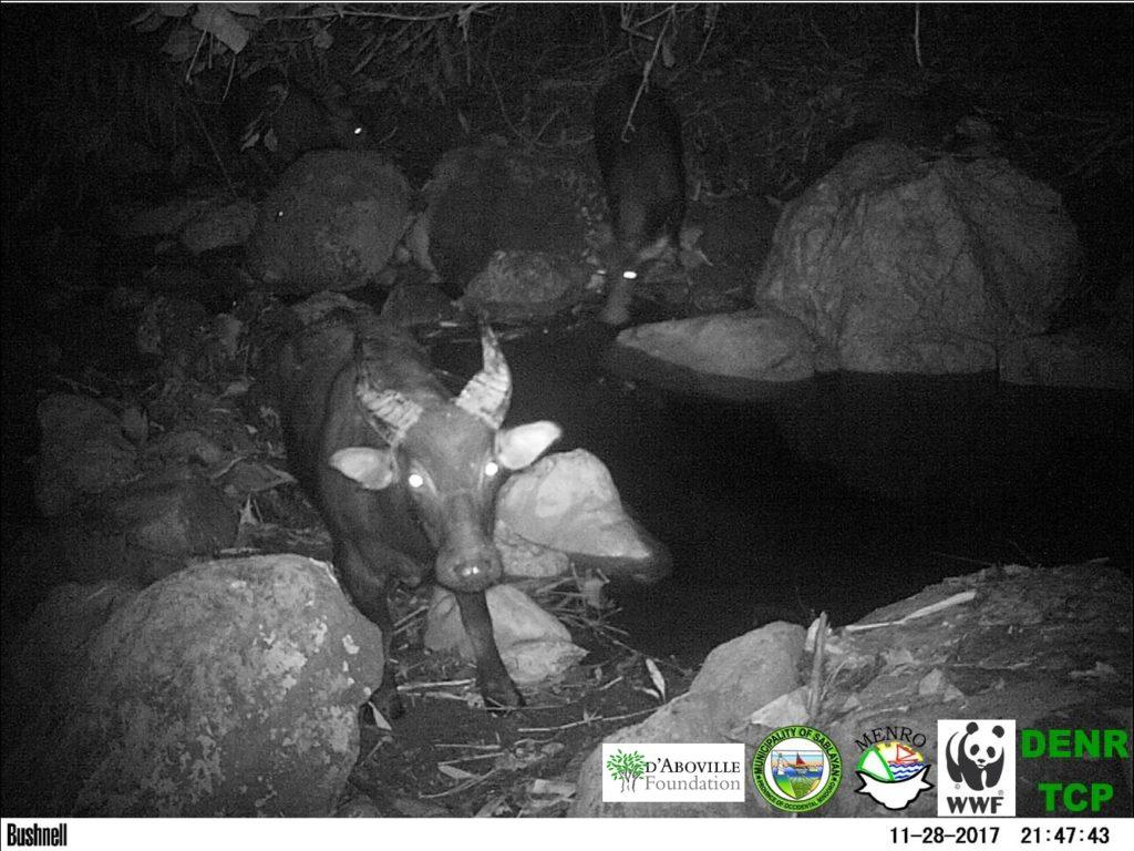 Un grupo de tamaraos capturados por una cámara trampa en la región de Aryuan Malati, en Mindoro. Se cree que la población allí está alrededor de los doce animales. Foto por WWF Filipnas y D'Aboville Foundation.