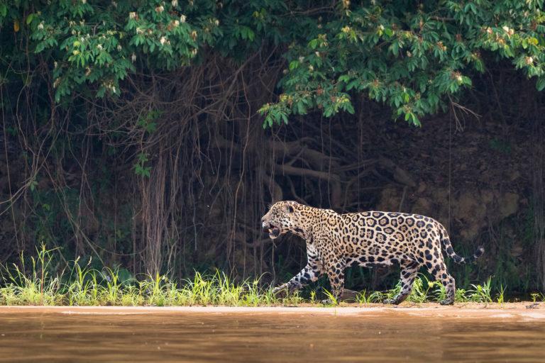 El jaguar (Panthera onca) fue nombrado especie emblemática de las Américas por la importancia que tiene en el ecosistema latinoamericano y como símbolo de la lucha contra el comercio ilegal de la vida silvestre. Foto: Richard Barrett / WWF UK