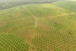Plantaciones de palma de aceite en Puerto Gaitán. Foto: Álvaro Avendaño.