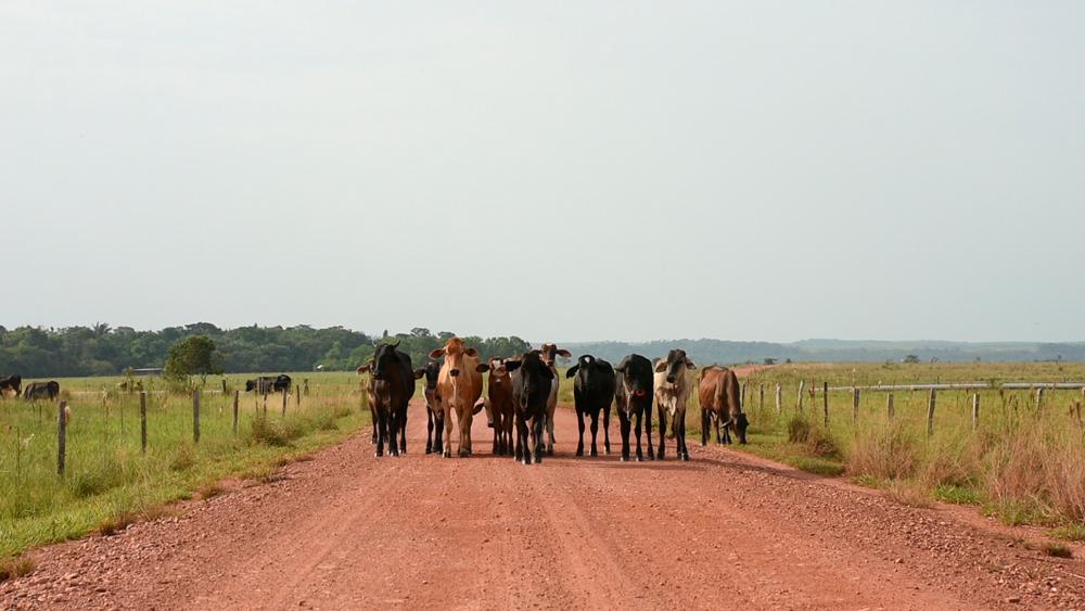 En las llanuras de Puerto Gaitán también es común la ganadería. Foto: Álvaro Avendaño.