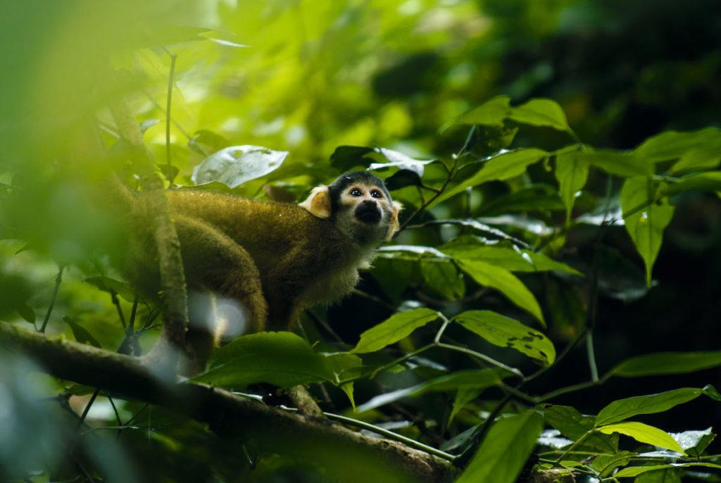 Mono ardilla (Saimiri boliviensis). Foto: ©Gabriel Herrera.