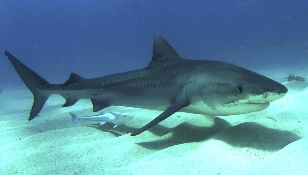 Tiburones tigre. Imagen de Albert kok a través de Wikimedia Commons (CC BY-SA 3.0)