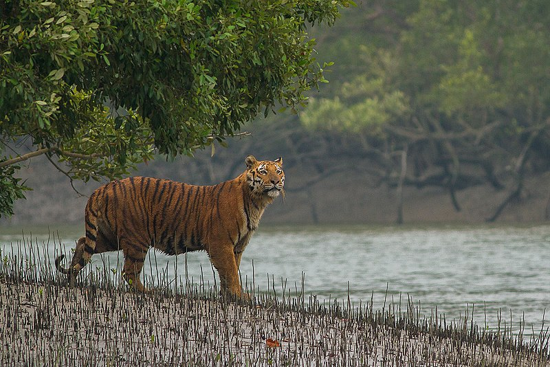 Si hay una población de lobos en los Sundarbans, tendrían que enfrentarse a un depredador mucho más grande y potente: el tigre de Bengala. Aquí un tigre de Bengala comprueba las condiciones antes de entrar en el canal de la Reserva del Tigre de Sundarban, Bengala Occidental, India. Foto de: Soumyajit Nandy / Creative Commons Attribution-Share Alike 4.0 International.