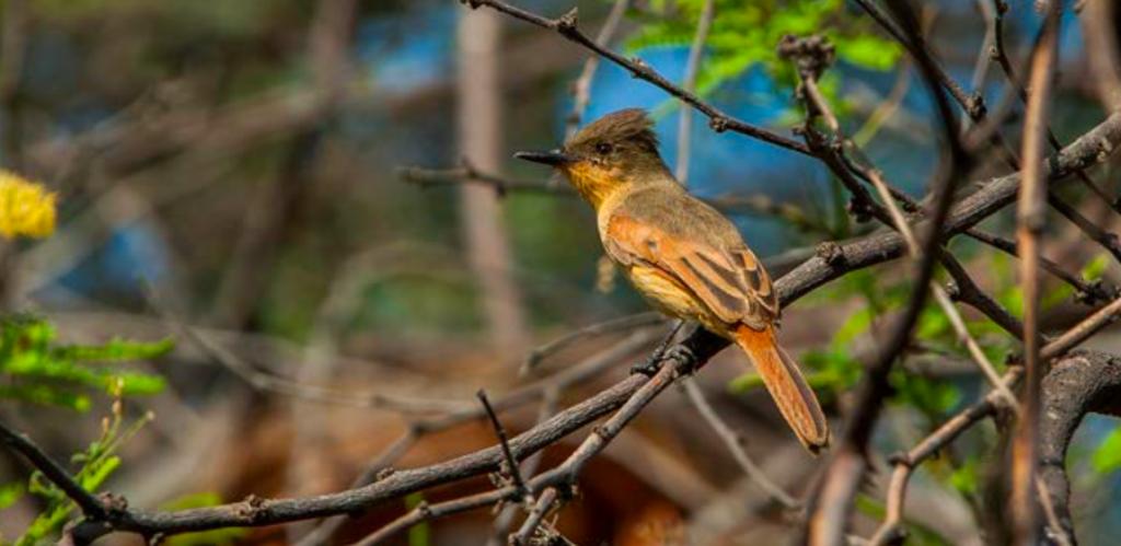 Ave del bosque seco peruano. Foto: Sernanp.