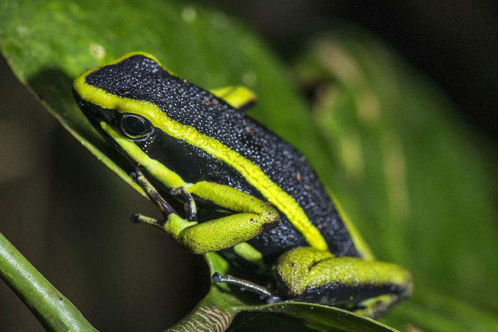 Amereega trivitatta, anfibio registrado en Cashu. Foto: ©Gabriel Herrera.