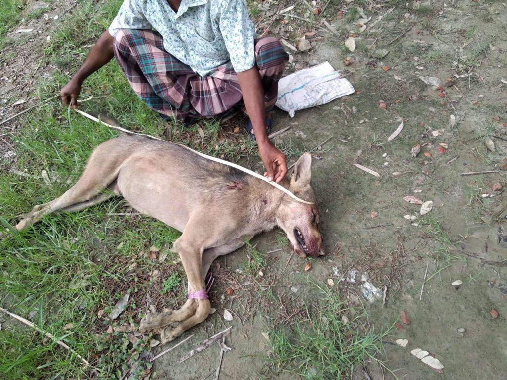 Medición del lobo recién muerto en Bangladesh antes del primer entierro. Foto: Hairaj Majhi.
