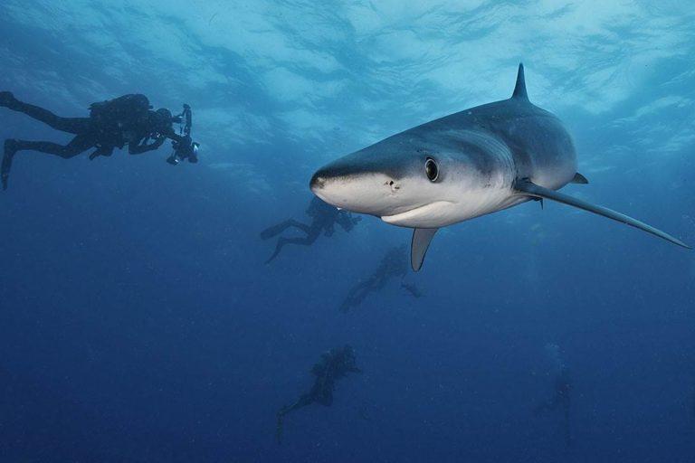Tiburón Mako. Foto: Oceana México