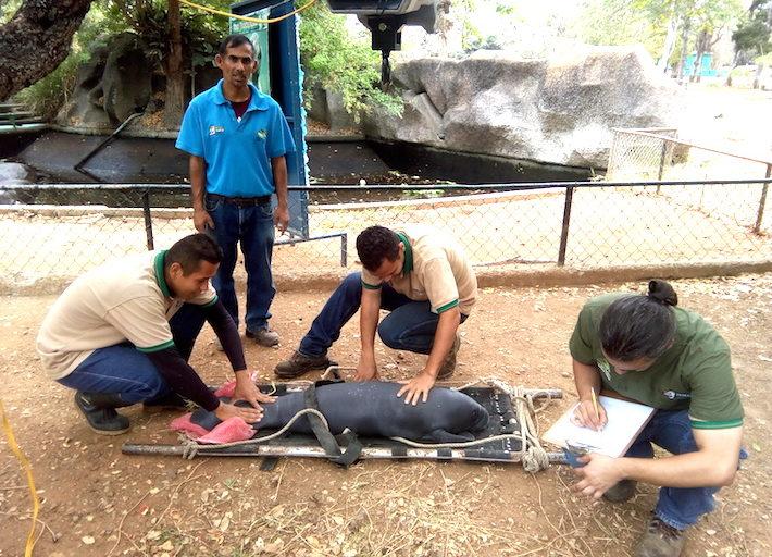 Se espera aumentar las poblaciones de paujil de pico azul en zoológicos y luego criar animales para su liberación Foto: Andrés Merizalde – Aviario Nacional.