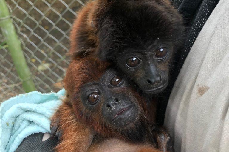 Dos monos aulladores bebé han llegado al Refugio de Vida Silvestre Senda Verde. Foto: Senda Verde.