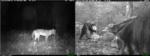 Imágenes de cámara trampa de un zorro, a la izquierda, y dos hormigueros gigantes captados durante el estudio. Imagen cortesía de Lain Pardo.