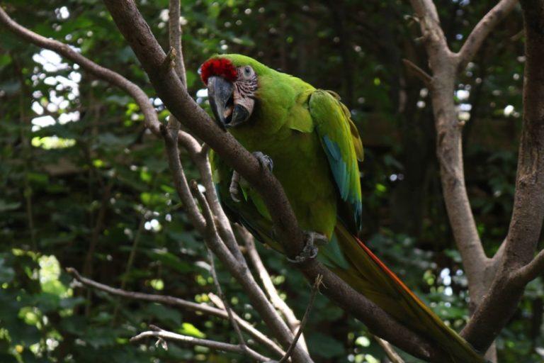Tomás es uno de los dos papagayos que viven en el Parque Histórico de Guayaquil, un zoológico bajo control del gobierno. Tiene 9 años y es macho. Es el único en exhibición pues su compañero Cuasimodo tiene problemas en su columna y no puede trepar. Foto de Sara Puertas