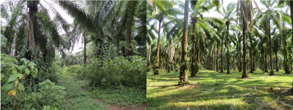 Plantación de palma aceitera con sotobosque (a la izquierda) y sin este. Imagen cortesía de Lain Pardo.