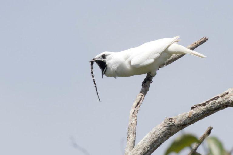 Un campanero blanco macho realizando su llamada de apareamiento. Imagen de Anselmo d'Affonseca