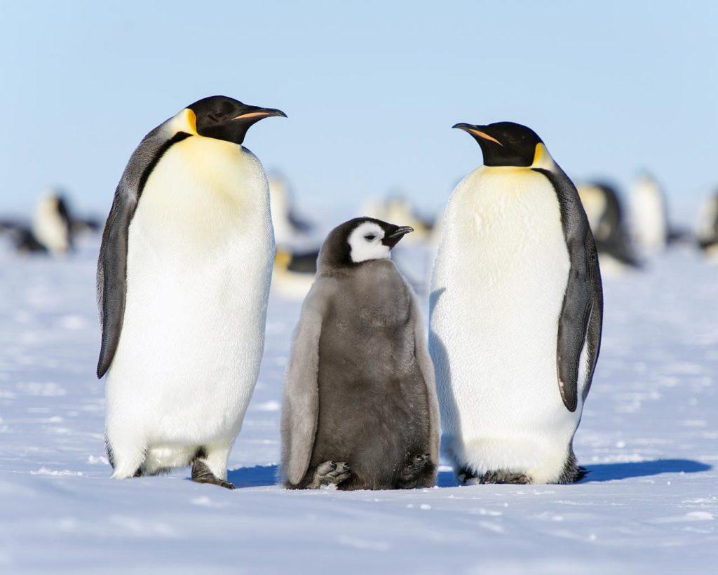 Los pingüinos emperador necesitan hielo marino intacto hasta que los polluelos estén listos para abandonar sus lugares de anidación. Imagen de Christopher Michel a través de Flickr (CC BY 2.0)