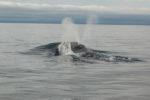 Ballena franca oriental del Pacífico Norte, la ballena más amenazada del mundo entre las ballenas barbadas. La exhalación en forma de V solo se da en las ballenas francas. Foto: NOAA.