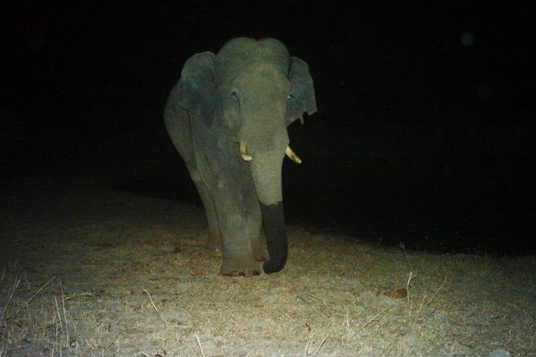 Un macho adolescente solitario captado por una cámara trampa por la noche dentro del hábitat forestal. Imagen cortesía de Nishant Srinivasaiah/FEP.