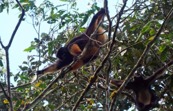 El Ateles belzebuth está categorizado En Peligro según la Unión Internacional para la Conservación de la Naturaleza. Foto: Rolando Aquino.
