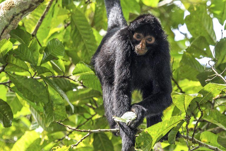 El mono araña negro también esta en la lista de especies priorizadas por el Plan Nacional de Conservación de los Primates Amenazados del Perú. Foto: Michael Tweddle.