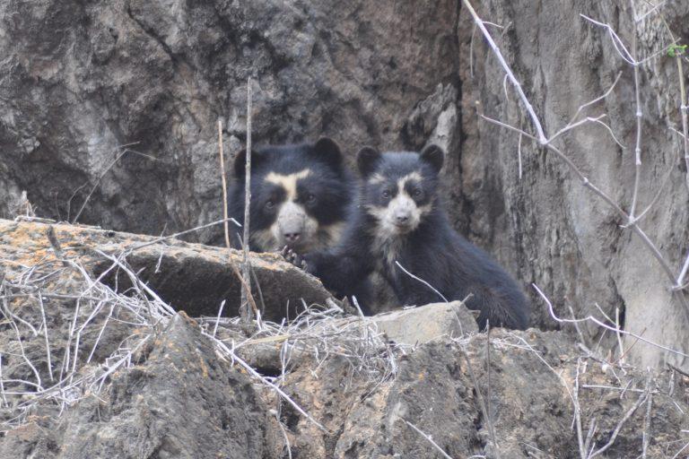 Los osos de anteojos se enfrentan a la desaparición de su hábitat. Foto: SBC Perú.