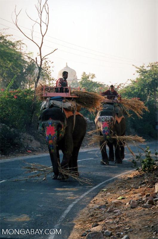 Los elefantes son todavía usados como animales de carga en algunos lugares de la India. Foto: Rhett A. Butler / Mongabay