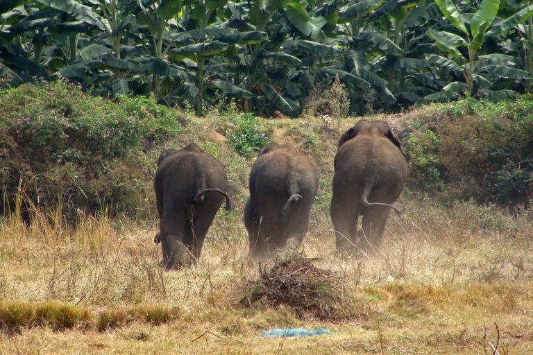 Un grupo de elefantes exclusivamente masculino que avanza hacia una plantación de plátanos a las afueras de Bangalore, India, cortesía de Nishant Srinivasaiah/FEP.