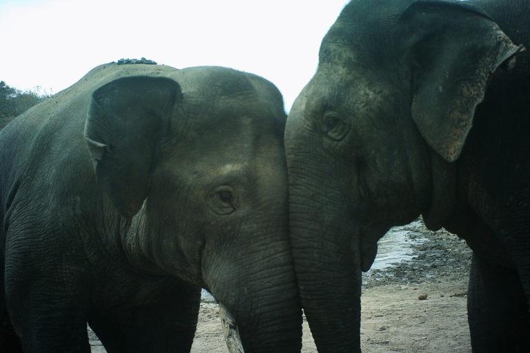 Interacción social entre un elefante macho joven y otro adulto. Imagen cortesía de Nishant Srinivasaiah/FEP.