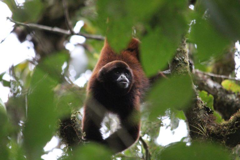El mono choro de cola amarilla es una de las dos especies de primates en Peligro Crítico en Perú. Foto: Sam Shanee / NPC.