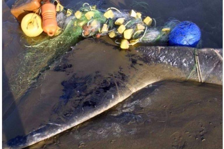 Tiburones y otras especies marinas quedan atrapadas en las redes de pesca. Foto: EcOceánica.
