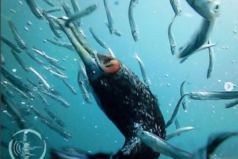 Cormorán Guanay bajo el agua pescando sus presas. Foto: Unidad de investigación de ecosistemas marinos grupo aves marinas de la Universidad Científica del Sur.